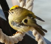 Britains smallest bird, the Goldcrest.