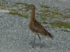Curlew take over the roads on the Norwegian Island of Stott.