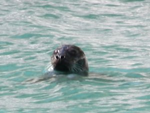 Photo of an otter - SchoonerSail Sailing holidays
