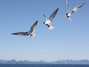Photo of Arctic Terns by Ben Brooking - SchoonerSail Sailing Holidays